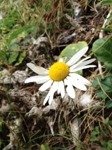 daisy downhill