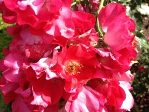 rosey bee