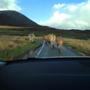 cow traffic jam
